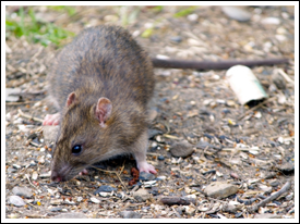 rats mice pest gon inc bridgewater nj pest control